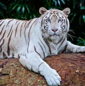 un tigre blanco